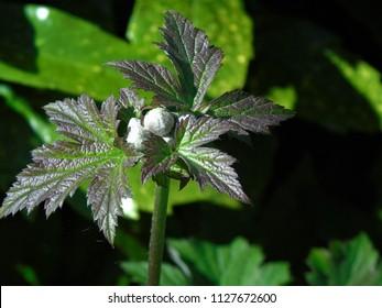 anemone x hybrida queen charlotte buds