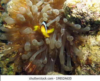 Anemonefish and cleaner shrimps in anemone