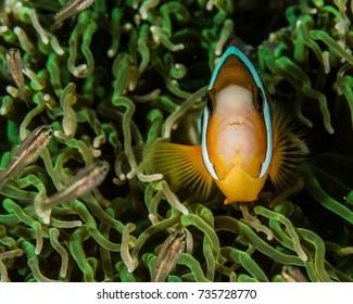 Anemonefish, Clown fish