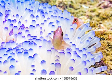Anemonefish clownfish on underwater coral reef, underwater photography