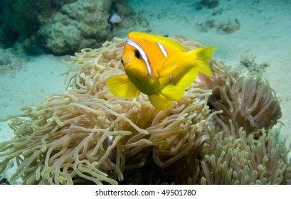 Anemonefish or Clownfish over its Anemone in the Red Sea, Egypt