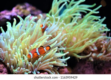 Anemonefish with Coral.