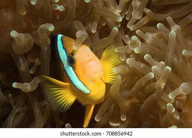 Anemonefish in its host anemone near Kapalai, Malaysia
