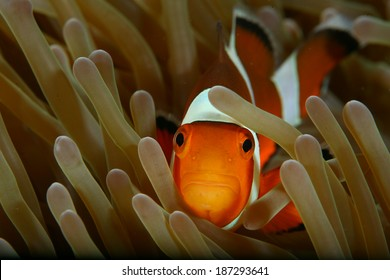 Anemonefish in North Andaman Thailand