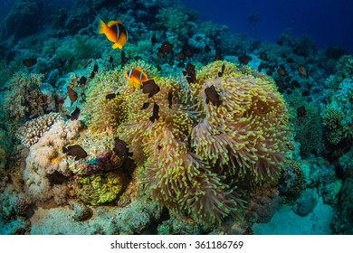 Anemonefish on a coral reaf in Red Sea