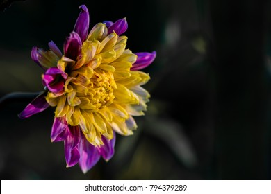 Anemone-flowered Dahlia named Boogie Woogie'. The centre of the flower consists of dense elongated tubular florets, longer than the disc florets of Single dahlias.