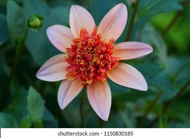 Anemone-flowering dahlia 'Totally Tangerine'