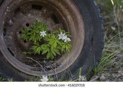Anemones growing in a rusty old car tire.