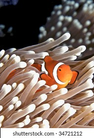 Anenomefish. Great Barrier Reef, Australia.