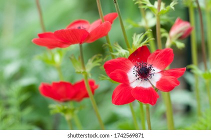 Aneomone coronaria Hollandia poppy flowers with red and white petals
