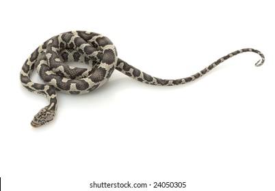 Anery Mexican Night Snake (Elaphe flavirufa) isolated on white background.