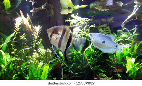Angel fish and blue Gourami in densely planted tropical aquarium, side shot