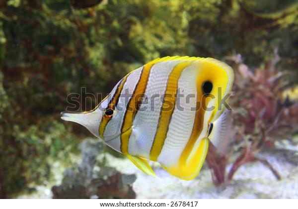 angel fish - chelmon rostratus
