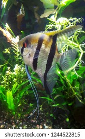 Angel fish with goldish color tone and wide black-n-white stripes in densely planted tropical aquarium, side shot