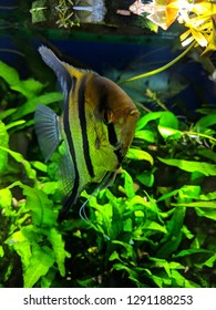 Angel fish with goldish color tone and wide black-n-white stripes in densely planted tropical aquarium