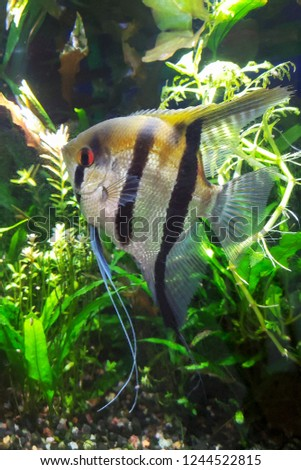 Angel Fish Goldish Color Tone Wide Stock Photo Edit Now 1244522815