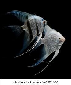 angel fish isolated on black background