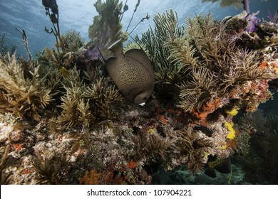 An Angel fish swimming over an Atlantic coral reef with a blue water background. In the John Pennekamp State Park in Key Largo, Florida.