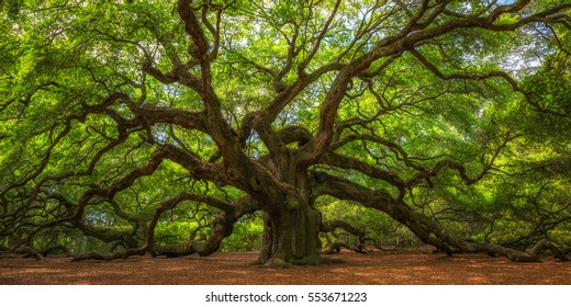 Angel Oak Tree Panorama