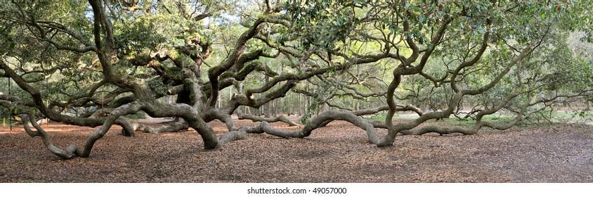 Angel Oak Tree Panoramic, Charleston, South Carolina