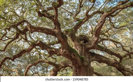 Angel Oak Twisted Tree Branches Charleston South Carolina