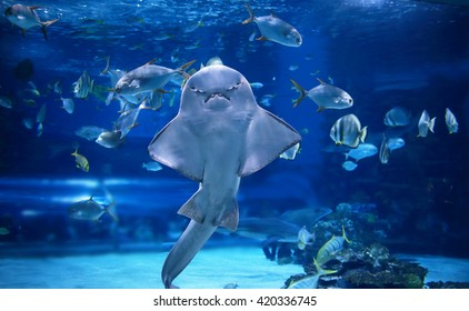 angel shark in aquarium you can see it's stomach as it stand