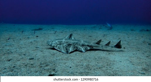 Angel shark, Squatina squatina, swimming over the sand in Lanzarote, Canary Islands