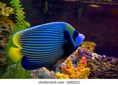 Angelfish in the aquarium closeup