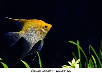 Angelfish in aquarium rearing