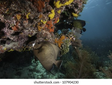 An Angelfish and a french Angel fish swimming over an Atlantic coral reef with a blue water background. In the John Pennekamp State Park in Key Largo, Florida.