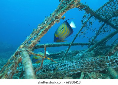 Angelfish getting cleaned by blue striped cleaner wrasse while feeding on an old fishing cage in the Andaman sea, Indian Ocean Thailand.