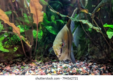 Angelfish hiding among vegetation at the bottom of densely planted tropical aquarium