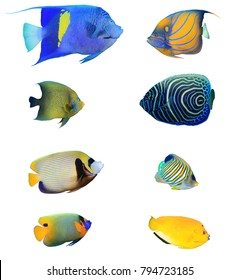 Angelfish of Indian and Pacific Oceans. Tropical fish collection. Arabian, Ringed, Koran, Emperor, Regal, Blue-cheeked and Three-spot Angelfish. Reef fish isolated on white background