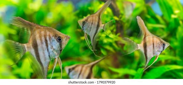 Angelfish Pterophyllum scalare close up