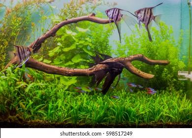 Angelfish Pterophyllum scalare in a nature aquarium