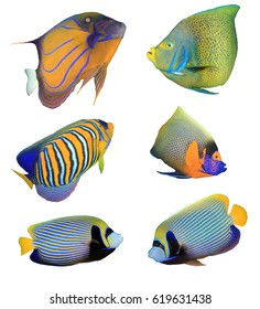 Angelfish reef fish isolated on white background. Angelfish species. Bluering, Koran, Regal, Yellowmask and Emperor Angelfishes