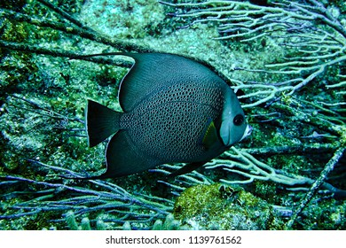 Angelfish swimming in the ocean that we saw while scuba diving in Nassau, Bahamas