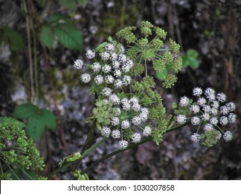 The Angelica archangelica