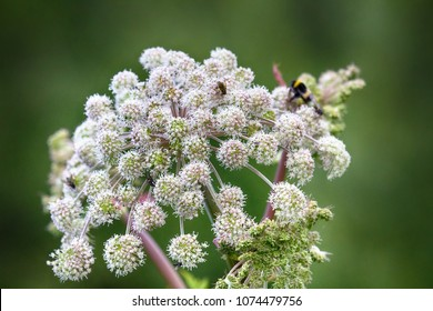 Angelica (Archangelica officinalis), umbelliferae, flower bumblebees and flies feeds nectar, moist meadow, drug plant, phytotherapy - angel (Archangel Michael) pointed to medicinal properties of plant