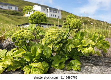 Angelica archangelica is an typical herbal plant in the north of Europe.