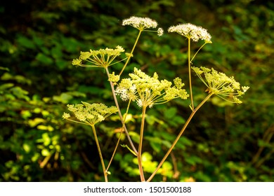 Angelica, medicinal herb with flower in summer