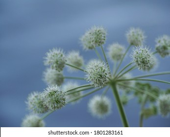 Angelica umbrella inflorescence of flowers on a blue background close-up