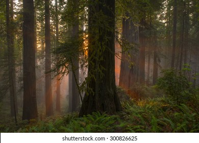 Angelic-like sun beams descending on redwood tree grove, California.