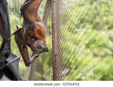 Angelita, a non-releasable Little Red Flying Fox, watches people outside her enclosure at a wildlife hospital in Kuranda, Queensland.  Perhaps they have fresh fruit for her?