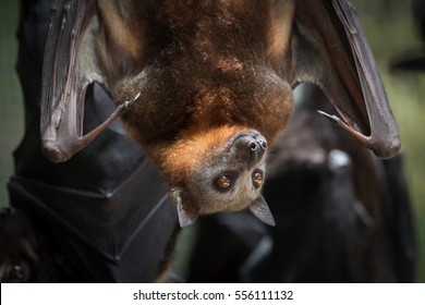 Angelita, a non-releasable Little Red Flying Fox being cared for at a wildlife hospital in Kuranda, Queensland, enjoys the late-afternoon sun.  The Flying Foxes are popular with tourists.