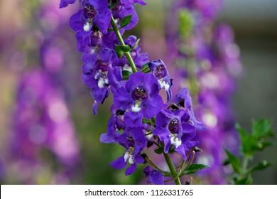 "Angelonia Angelface ""Super Blue"" flowers"