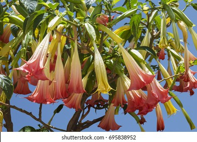 Angel's Trumpet flowers or brugmansia (Brugmansia suaveolens), family solanaceae, on the background of blue sky