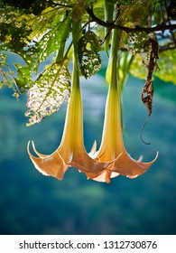 Angels Trumpets (Datura) isolated in blue, Solanaceae, Brugmansia, large, fragrant flowers give them their common name of angel's trumpets, a name sometimes used for the closely related genus Datura
