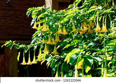Angels Trumpets (Datura), Solanaceae, Brugmansia,  the large, fragrant flowers give them their common name of angel's trumpets, a name sometimes used for the closely related genus Datura
