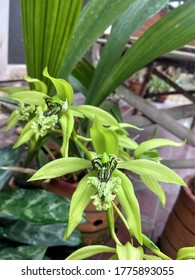 Anggrek hitam (Coelogyne pandurata) is a species of orchid, found in Malaysia, Sumatra, Borneo and the Philippines. It has a black tongue (labellum) with a few green and feathery stripes.